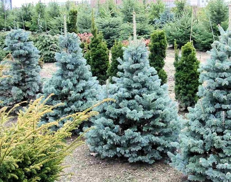 True natural Christmas trees